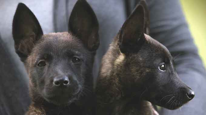 Dutch Shepherd Puppies for Sale