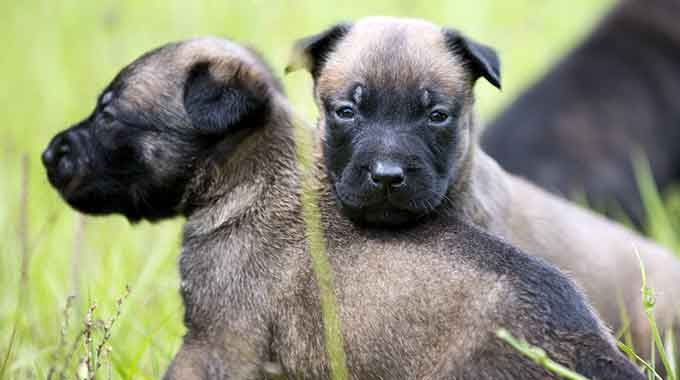 KNPV Belgian Malinois Puppies