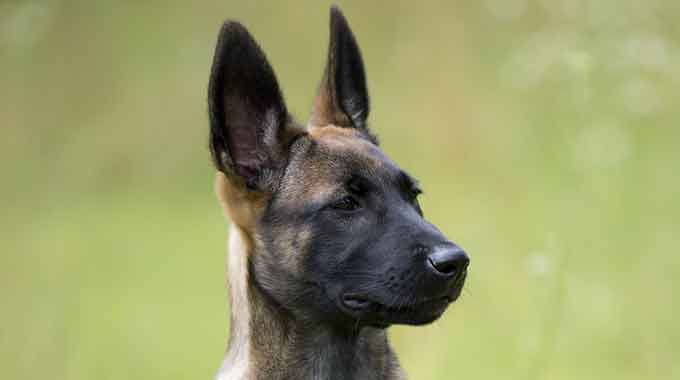 KNPV Belgian Malinois Puppy