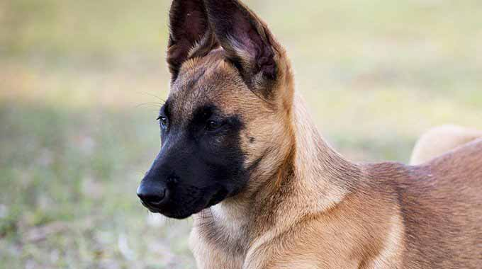 Belgian Malinois Puppies for Sale