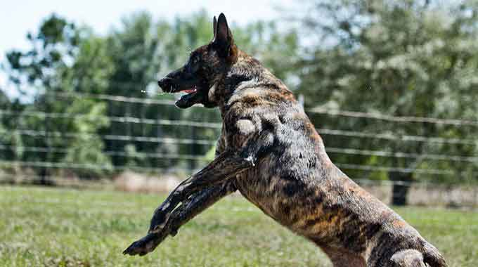 KNPV Dutch Shepherd Puppies for Sale